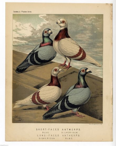 1875 Antique Victorian Print PIGEONS Short Long Faced ANTWERPS Silver Dun J. W. LUDLOW